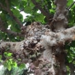 イチジク桑の木、イナゴ豆