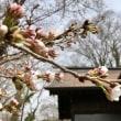 三春桜、咲き始めました~!