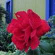 「秋バラ」の季節