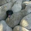 癒し画像:誰か代わって!羊にもてるお仕事です by ワン