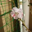 花💠桃🍑咲きました😆