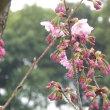 陽光桜とミモザ