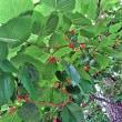 ウォーキングの余録はおいしい木の実