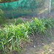 ニラの収穫と黄ニラの栽培