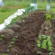 草取り、、芽かき、、土寄せ、、支柱などなど、、、