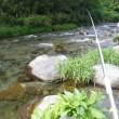 5月19日 那比川でアマゴ釣り!