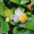 お茶の花、シュウメイギク、フジバカマ(赤塚植物園)
