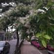 ヒトツバタゴの花がきれいに咲いています(船ネット)