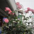 エポラ通りのバラ