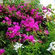『季節の花』 ブーゲンビリア