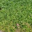 【作業】ほうれん草の種まき