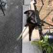 黒猫ジジィ たんぽぽルーム巡回中