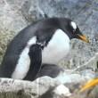 ペンギンの赤ちゃん(ジェンツー)2