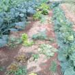 富士早生の収穫です