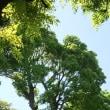 葛井寺の藤まつり
