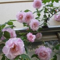 バラの誘引