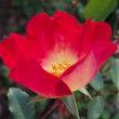 今、自宅庭で咲いている花(シュウメイギク、スイートアリッサム、バラ)
