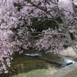 名倉川 コヒガンザクラ⑧