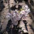 幹からの桜