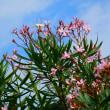 『季節の花』 キョウチクトウ