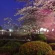 茂原公園の桜3