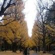 銀杏の並木や大木が濃く色づいています。  弥生美術館の「一条さゆり展」。