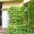 屋上菜園111 (H30.8.9~)