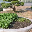 菜園の野菜達は順調に育ってますよ