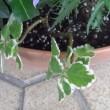 5/18 寄せ植え鉢-Lに挿し木します