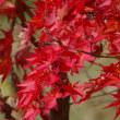 紅葉の紅葉とジョウビタキオス