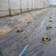 肥料の移送とレタスの定植