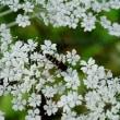 浅草山麓エコミュージアムの白い花 オオバセンキュウ と ゴマナ