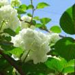 庭の「オオデマリ」はもう咲かない