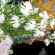 温室植物園で 市花さぎ草展