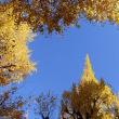 2年ぶりの 神宮外苑銀杏並木