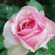 薔薇の園  * 2018 *  Vol.14 * 春乃 *