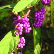 コムラサキは紫式部の美しさに由来