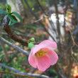 12/10中庭にボケの花