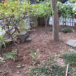 南側の珊瑚樹 樫などの剪定をした・・・・・除草も・・・