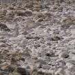 河原の石ころが真っ白になっています。 何故だか目にとまります。 (Photo No.14127)