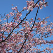 熱海の海岸の桜です。