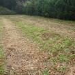 和綿畑を除草するも、紅花苗の移植は延期