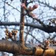川風に当たる桜の蕾はまだ硬い