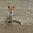 キツネ(狐)