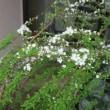 雪柳を坪庭に。