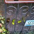 秋咲きスノーフレークと今日の庭