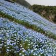 青の洞門のネモフィラ