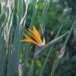 季節の花「ゴクラクチョウ」
