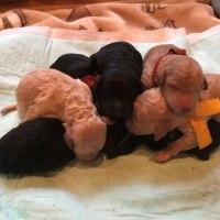 ミディアムプードル Rioさん子犬産まれました。