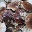 消える魔球は水に弱い、ホタテの稚貝は揺れに弱い…?
